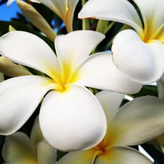 54 Best Flowers In Hawaii Images Tropical Flowers Beautiful