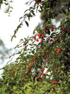 Própria para clima quente e úmido, a pitangueira (Eugenia uniflora L.) fica bem em vaso e precisa de sol pleno.