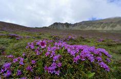 Alpine azalea flowers blossom in a valley in TibetPhotograph: Purbu Zhaxi/Corbis