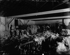 Interior view of a cotton pickery. Men (both white and black) are working, and what is presumably moss is littered over every surface. Loyola University New Orleans, Louisiana State University, Louisiana History, Louisiana Tech, Oral History, Teaching History, Coding Languages, Types Of Resources, Drupal