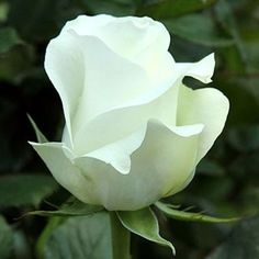 Akito Roses are white & usually available all year round. 60cm stem lengths this wholesale cut flower is wholesaled in 20 stem wraps.