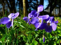A Family Herb: Violet Plant - Herbal Academy. Uses for medicine and nutrition… Violet Plant, Herbs For Health, Healing Herbs, Medicinal Plants, Herbal Remedies, Garden Landscaping, Herbalism, Nature, Exotic