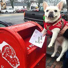 """I'm mailing my wish list to Santa Paws"", French Bulldog at Christmas Cream French Bulldog, French Bulldog Harness, French Bulldog Facts, Cute French Bulldog, French Bulldogs, French Bulldog Personality, Baby Animals, Cute Animals, Every Dog Breed"