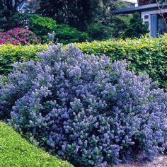 ~~~reminds me of a california lilac~~~Flowering Shrubs Hedge - 5 hedge plants Ceanothus Yankee Point - Blue Bushes And Shrubs, Flowering Bushes, Planting Shrubs, Garden Shrubs, Garden Plants, Planting Flowers, Hedging Plants, California Lilac, California Native Plants