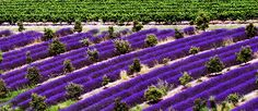 Provence Travel Tips from Rail Europe Provence, Lavender Seeds, Lavender Flowers, Exotic Flowers, Beautiful Flowers, Lavender Cookie Recipe, National Geographic, Champs, France Train