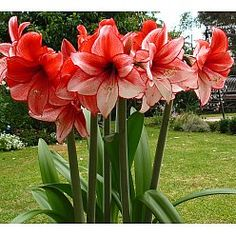 Amaryllis - Charisma. GardenPost