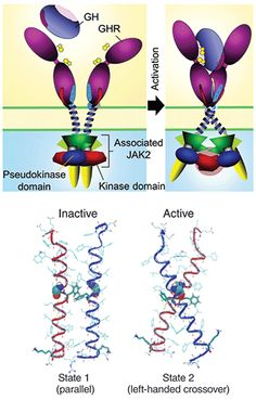 Image result for the binding of growth hormone to JAK