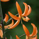 turkscap lily