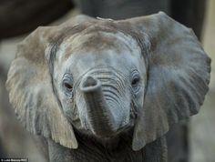 O fotógrafo britânico Luke Massey passou três meses no Luangwa do sul, na Zâmbia, e ganhou um carinho especial por três animais: elefantes, leopardos e pan