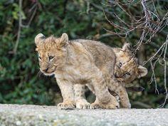 Cubs playing rough (by Tambako the Jaguar)