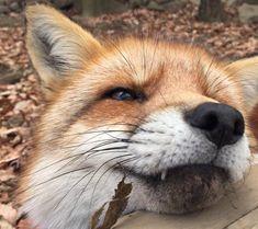 foxtop.jpg 600×533픽셀