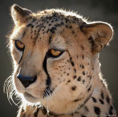 Cheetah ~ Face of Beauty ~ COPPER eyes !