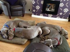 Weimaraner sleepover ~ they love to snuggle!! oh yes. four instead of one would be perfect! <3