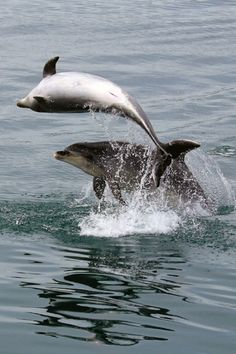 tulipnight:  Frolicking Dolphins in the Wild byPatricia Parker