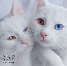 Iriss e Abyss são as gatas gêmeas mais bonitas do mundo. Seus olhos heterocromáticos de cores diferentes são um charme