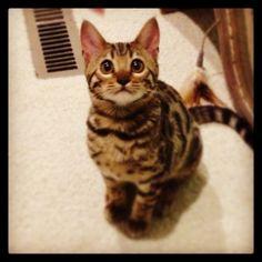 My Bengal kitten Bagheera