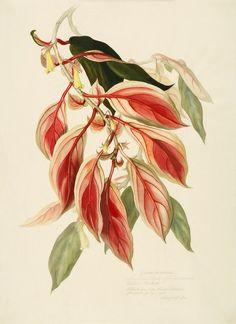 Margaret Mee, 1969 -- Gesneriaceae Nematanthus fluminensis (Vell.) Fritsch. Ubatuba, São Paulo litoral Flowered July, 1969