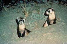 The only ferret native to North America, and one of the most endangered mammals on the continent, the black-footed ferret