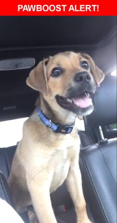 Is this your lost pet? Found in Tulsa, OK 74135. Please spread the word so we can find the owner!  Very young. Fixed. No collar or microchip (we put a collar on him) looks like maybe part Ridgeback?  51st & S Yale Ave