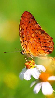 Butterfly Butterfly Effect, Butterfly Kisses, Butterfly Flowers, Butterfly Wings, Beautiful Bugs, Beautiful Butterflies, Flying Flowers, Butterfly Pictures, A Bug's Life
