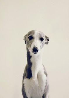Randomitus — hhollie: Whippets are hilarious.