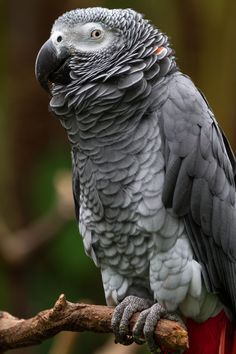 "/ Congo African Gray Parrot by Robert D. MacNevin"" Love the red neck feather! Cute Birds, Pretty Birds, Beautiful Birds, Animals Beautiful, Cute Animals, Exotic Birds, Colorful Birds, Exotic Pets, African Grey Parrot"