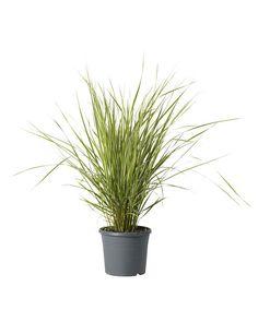 Pyntegress Diameter 17 cm Brun | Plantasjen Herbs, Plants, Herb, Plant, Planting, Planets