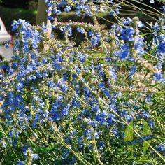 Salvia uliginosa ou sauge des marais