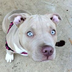 Pitbull with light blue eyes. Love it!