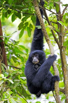 28914934-Siamang-Gibbon-hanging-in-the-trees-in-Malaysia-Stock-Photo.jpg (866×1300)