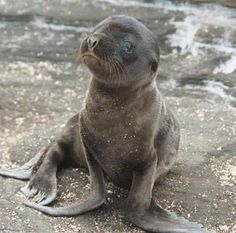 He's so cute!  Mom needs to feed him more, though.  A skinny sea lion is not a good thing.