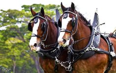 draft horses under harness
