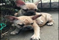 French Bulldog Puppies For Sale Madison Wi