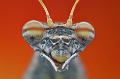 Portrait of mantis by Omid Golzar, via 500px