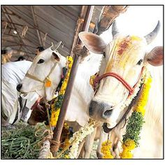 GauChar Bhumi Daan / Land donation for cow grazing
