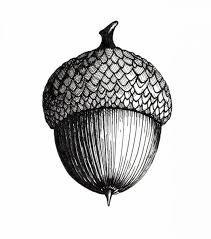 Image result for oak tree botanical drawing