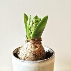 Hyacinth | Peet likes