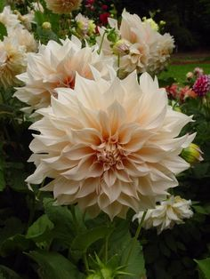 Dahlia garden, 'cafe au lait' This is more the color on the package of buls and in the garden,  But spectacular.