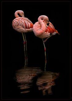 Flamingos at rest Flamingo Wallpaper, Flamingo Art, Pink Flamingos, Tropical Birds, Exotic Birds, Beautiful Birds, Animals Beautiful, Animals And Pets, Cute Animals