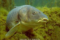 Common Carp, Lake Michigan