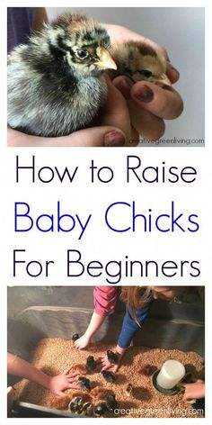 Chicken Coop - I have LOVED having baby chicks (so did my kids! Here is an awesome guide to how to raise baby chicks - perfect for the total beginner. Building a chicken coop does not have to be tricky nor does it have to set you back a ton of scratch. Raising Backyard Chickens, Backyard Chicken Coops, Baby Chickens, Keeping Chickens, Diy Chicken Coop, How To Raise Chickens, Backyard Farming, Urban Chickens, Chicken Ideas
