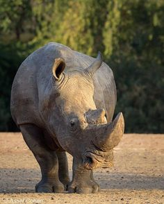 I like rhinos. They are strong and noble animals. 😍❤️ Photography by ©Assaf Cohen #Wildgeography