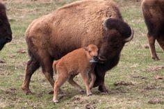 Minnesota Zoo welcomes first newborn bison in 20 years | StarTribune.com