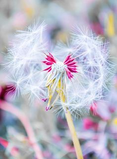 Pink Dandelion IPhone 6 Case for Sale by Parker Cunningham Dandelion Wish, Dandelion Flower, Amazing Nature, Amazing Art, Cool Pictures, Cool Photos, Make A Wish, Pretty Flowers, Wild Flowers