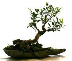 Ficus microcarpa..