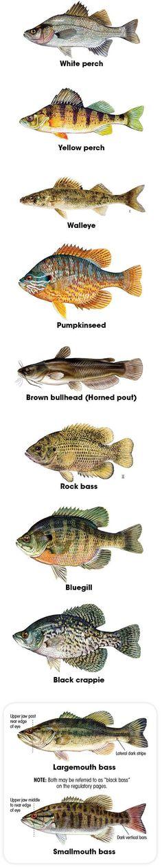 Freshwater fish iden