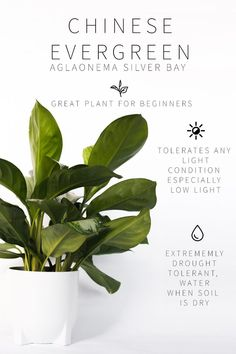 Master List of Low Light Indoor Plants it tolerates low light well, but also grows well in bright spots. It doesn't even need natural light to thrive! Chinese evergreen does just fine in offices with fluorescent lighting. This plant is fairly slow growing