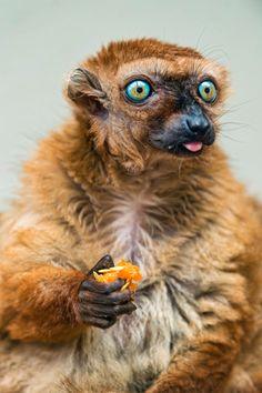 Female Sclaters Lemur Eating ~ By Tambako the Jaguar Primates, Mammals, Zoo Animals, Animals And Pets, Funny Animals, Cute Animals, Strange Animals, Beautiful Creatures, Animals Beautiful