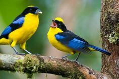 Blue winged mountain tanagers