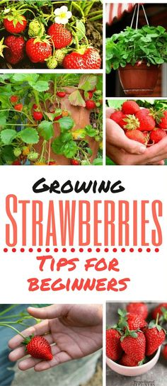 If you love the taste of strawberries but worry about grocery store prices, have you ever thought of growing some on your own? It's fairly easy to grow strawberries. This post includes some ideas on…MoreMore #GardeningTips